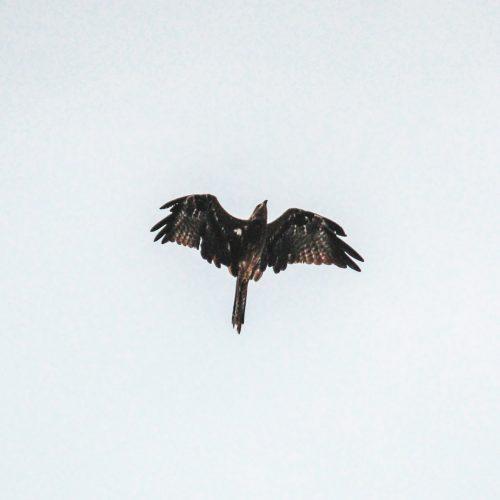 black-bird-flying-under-white-sky-2566791